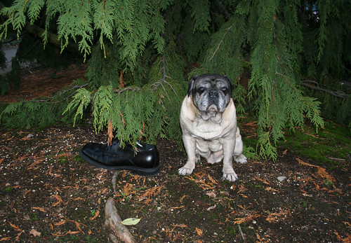Pug WIth Kenneth Cole Shoe
