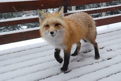 Snow Cute Fox (Rob Lee) Tags: house cute colorado wildlife deck evergreen fox freddy freddythefox