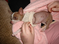 Scars (mrstaypuffed) Tags: pink dog pet chihuahua animal alaska puppy sad sleepy anchorage anc scar scars 2007 heartsurgery stiches alyss