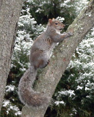 ***EXPLORE*** going up the tree to scout around (Frozen in Time photos by Marianne AWAY OFF/ON) Tags: animals squirrels wildlife scout explore critters smallanimals backyardcritters sciuruscarolinensis easterngreysquirrel flickrexplore flickrscout easterngreysquirrels scoutflickrexplore myphotosthatmadeittoscout scoutflickr photosthatmadeittoexplore photosthatmadeittoscoutexplore