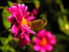 (cristiáиcoиcнa) Tags: chile trip viaje flower macro southamerica america butterfly south flor sur mariposa lulein chancholulein ltytr2 ltytr1