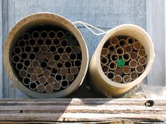 masonbeecloseup.JPG (home orchard society) Tags: houses nest tubes pvc masonbees