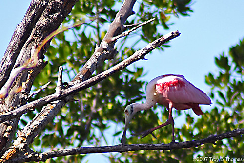 Roseate Spoonbill; Photography by Troy Thomas