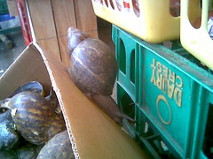 Giant African Land Snail Escapes