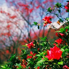 (joart) Tags: flowers blue light red sun black flower 120 cherry iso100 645 kodak taiwan natura fujifilm taipei e100vs sakula ga645i