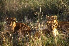 Lionceaux (fredlab) Tags: animals kenya young safari lions animaux afrique lionceaux