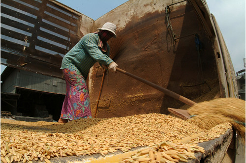 Rice being unloaded from trucks at a parboiling rice mill in Thailand.