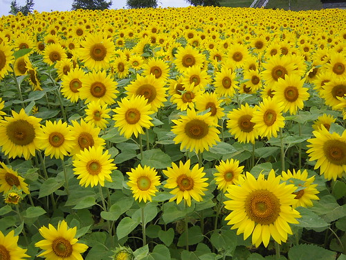 Helianthus annuus, heliotropism, lessons from sunflowers, seasonal plant, sunflowers