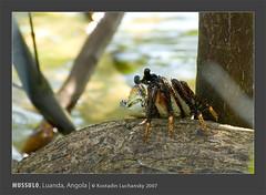 _KDL3906 (AIB - Angola Image Bank por KODILU Fotografia) Tags: ocean sea topf25 topv111 mar topf50 topv555 topv333 topv1111 angola luanda mangrooves mussulo mangais angolaemfotos angolaimagebank kodiluphotography angolainphotos wwwangolaimagebankcom