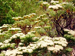 Eriogonum arborescens (pete@eastbaywilds.com) Tags: wildflowers choice webshots