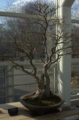 Acer palmatum, Bonsai Museum, BBG