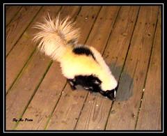 Pepe (MsPixie) Tags: blackandwhite white black animals fur fuzzy sweet kentucky wildlife marshmallows friendly phew stink skunks pepelapew
