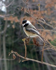 Bird - Chickadee - What are you looking at? (blmiers2) Tags: newyork cute bird nature beautiful birds canon geotagged photography blog wildlife birding aves powershot chickadee views g6 blackcappedchickadee avian 2007 smallbirds songbird chickadees wildbirds poecileatricapillus passeriformes backyardbirds paridae birdphoto chickadeebird blackcappedchickadees cappedchickadee chickadeebirds chickadeeimages chickadeepictures thechickadee picturesbirds blm18 blmiers2