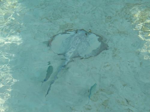 IMG_2374 隱身水底的魟