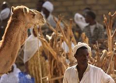 Man and camel, Keren, Eritrea (Eric Lafforgue) Tags: africa hasselblad nomad eritrea hornofafrica nomadic eastafrica aoi eritreo h3d erytrea lafforgue erythre eritreia  ericlafforgue nomadiclife ertra    eritre eritreja eritria h3d39 wwwericlafforguecom  rythre africaorientaleitaliana     eritre eritrja  eritreya  erythraa erytreja