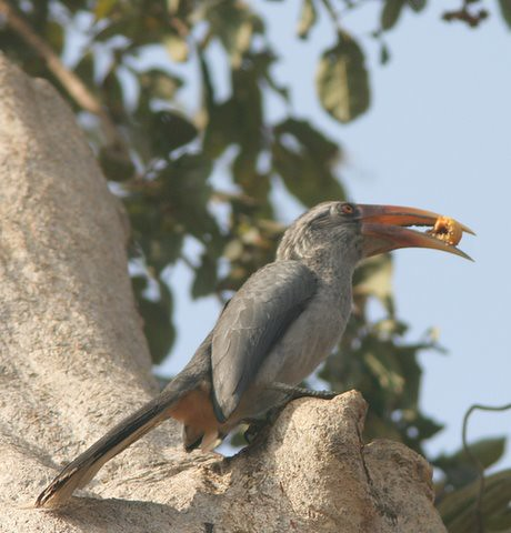 Malabar Grey Hornbill with fruit