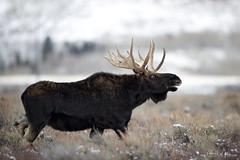 Wild Eyed (RH Miller) Tags: rhmiller reedmiller wildlife moose bullmoose grandtetonnationalpark wyoming usa
