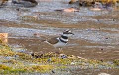 7K8A7065 (rpealit) Tags: scenery wildlife nature east hatchery hackettstown killdeer bird