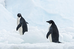 You wanna come or not? (Gies!) Tags: 2016 antartica adelie penguins two animals birds winter ice snow