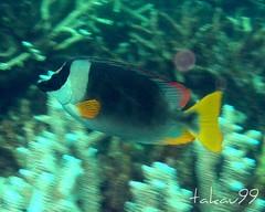 Andaman Rabbitfish, Thailand