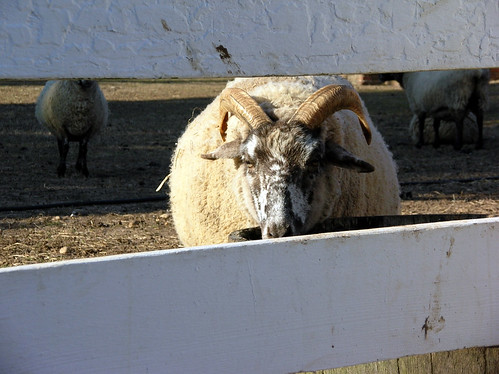 A sheep at the Mount Vernon farm