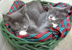 Kitten Sisters Sleeping, Eva & Beth. They Got Adopted & Got to Stay Together! (Pixel Packing Mama) Tags: beautiful tag3 wonder grey tag2 niceshot tag1 tl gorgeous adorable letsplaytagyoureit aww catsandkittensset sleepingcats v800 exclamationpoints 510favorites catskittensset sleepingbeauties heartlandhumanesociety catssleeping sleepycats beautifulcats top20cats catsinbaskets 777v7f catpix pixelpackingmama taggedoutthegraduatesofletsplaytag dorothydelinaporter worldsfavorite beautyisintheeyeofthebeholder taggedoutproudofitset beautifuluniverse wonderfulunlimited cc800 montanathecat~fanclub catcentury favoritedpixset mostinterestingaccordingtoflickralgorithmset spcacatspool spcacats catnappurrrrrr kittytunafish sleepnapslumberzzzzzzzzzzzz cat800 kittenssoundasleep gggcozy gattigattinigattonifinalist commentedwithanicondirectorygroup catsinbasketsset exclamationpointspool pixwithexclamationpointsincommentsset cats760viewscatswellontheirwayto1000viewsormorepool greyorbluegraycatsset views1000andupdomesticcatsonlypool furryfunpool dashingdivasprettyprincessespool uploadedsecondhalfof2006set exclamationpointsincommentsset christmascatskittensset kittensnappingtogetherpool oversixmillionaggregateviews over430000photostreamviews