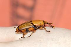 Red Palm Weevil (Bob Reimer) Tags: oman nikonstunninggallery khutwah redpalmweevil rhynchophorusferrugineus