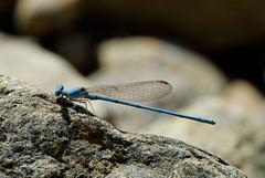 Arabicnemis caerulea (Bob Reimer) Tags: dragonflies fieldtrip oman odonata nikonstunninggallery enhg asubaitah arabicnemiscaerulea wilayatmahdah