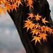 Maple leaves. - by H@Ru