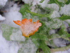 Calendula in snow