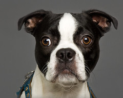 Young Old Boston (Piotr Organa) Tags: portrait dog pet pets toronto canada cute dogs face animal animals boston portraits puppy studio puppies nikon d70s professional cutest impressedbeauty pet500 pet2000