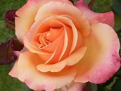 A Rose....for You (Luigi Strano) Tags: flowers roses flores rose fleurs garden flor blossoms blumen blooms fiori blommor bungabunga maua roza bloemen blomster bulaklak hoa flors pinkflowers iekler  pinkroses flori  kvtiny   geles lule virgok blom kukat blueribbonwinner fior cvijee lilled blomme viragok    masterphotos ziedi   auniverseofflowers awesomeblossoms kbetki kuety