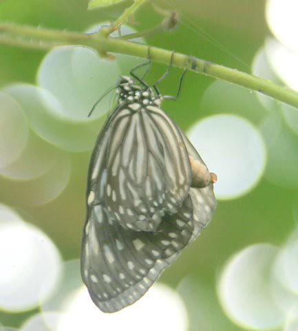 Butterfly, IMG_0890.JPG
