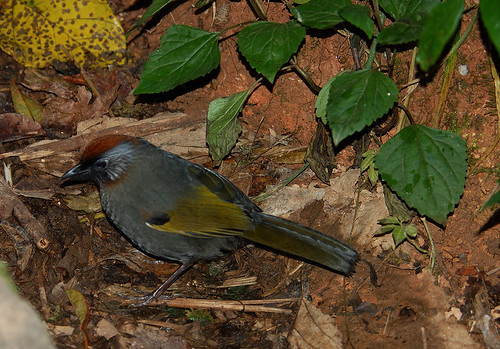 chestnut-crowned laughingthrush (garrulax erythrocephalus)