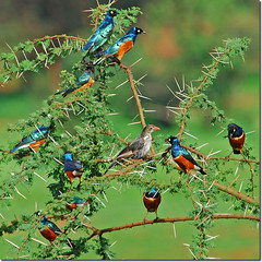 Superb Starlings (jay_kilifi) Tags: africa xmas blue tree green punk starling thorns acacia tsavo africanbirds specanimal animalkingdomelite mywinner greenx avianexcellence
