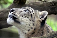 Snow leopard (dbillian) Tags: cats animal animals cat zoo feline leopard bigcat felines damon bigcats snowleopard zoos leopards snowleopards damonbillian billian