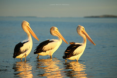 Threes a crowd ! (john white photos) Tags: bird bay australia pelican coastal peninsula eyre bairds littlestories specanimal picswithsoul
