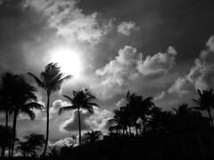 Wild Palms (MariSheibley) Tags: blackandwhite atlantis palmtrees newyears nassau thebahamas tribeofbeautyfreedompeace