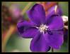 Macro de Flor (Pedrali) Tags: flores macro huelva violeta olympuse500 instantfave raynoxdcr250 5for2 parquecelestinomutis
