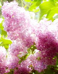 Sunny Lilac (Kirsten M Lentoft) Tags: sun flower love nature purple lilac purplish momse2600 kirstenmlentoft