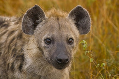 Spotted hyena (Crocuta crocuta) (Arno Meintjes Wildlife) Tags: africa park camp wallpaper holiday color art nature animal animals closeup southafrica bush bravo wildlife safari explore endangered predator animalplanet hyena mammalia rsa krugernationalpark mpumalanga krugerpark carnivore predators birdwatcher excellence big5 naturelovers knp sanparks naturesfinest crocutacrocuta spottedhyena naturescall interestingness262 i500 hyaenidae flickrsbest meintjes specanimal animalkingdomelite colorphotoaward impressedbeauty arnomeintjes thebestnothingelse naturewatcher internationalgeographic taxonomy:binomial=crocutacrocuta naturesgreenpeace