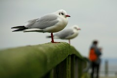 two lazy seagulls (gari.baldi) Tags: orange green nature animal germany grey pier dof seagull gull gray 2006 balticsea rgen garibaldi ostsee paperwall sassnitz jasmund anawesomeshot kuckma