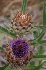 Artichoke flower (mia_jay) Tags: purple artichoke vegetablegarden vegetableflower
