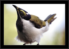 Juvenile Blue-faced Honeyeater (Barbara J H) Tags: nature birds wildlife canon20d australia qld bluefacedhoneyeater entomyzoncyanotis australianbirds australianwildlife maroochydore birdsofaustralia featheryfriday mywinners abigfave wildlifeofaustralia barbarajh