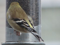 goldfinch fluffies