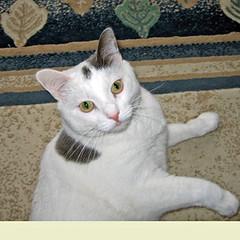 zakk (Tiffany 228) Tags: cat canon zakk kissablekat bestofcats kittyschoice