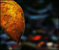 Light in autumn (Valerio.I) Tags: autumn italy backlight leaf italia foglia autunno cachi kaki diospyros diospiro colorama diospero abigfave