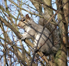 Grey Squirrel in Russia Dock Woodland