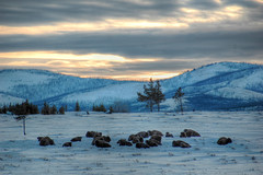 BisonYellowstonePreDawn (Steven Ford / snowbasinbumps) Tags: morning winter snow sports beautiful sunrise dawn utah day mourning explore 1224mmf4g yellowstone wyoming bison ogden peopleschoice hairycow naturesfinest nikon70ds outstandingshots 25faves mywinners mywinner topofutah anawesomeshot stevenford travelerphotos lifeelevated shopofcuriosities snowbasinbumps wwwfordesignnet fordesignnet utahtravel westerntravel