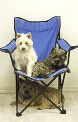 2 Bdrm Up Plus A Bsmt Suite (Back in the Pack) Tags: blue dog calgary dogs puppy riley chair sitting westie daisy cleo cairnterrier bluechair dogdaycare wwwdogdaycareca wwwbackinthepackca albertabarks